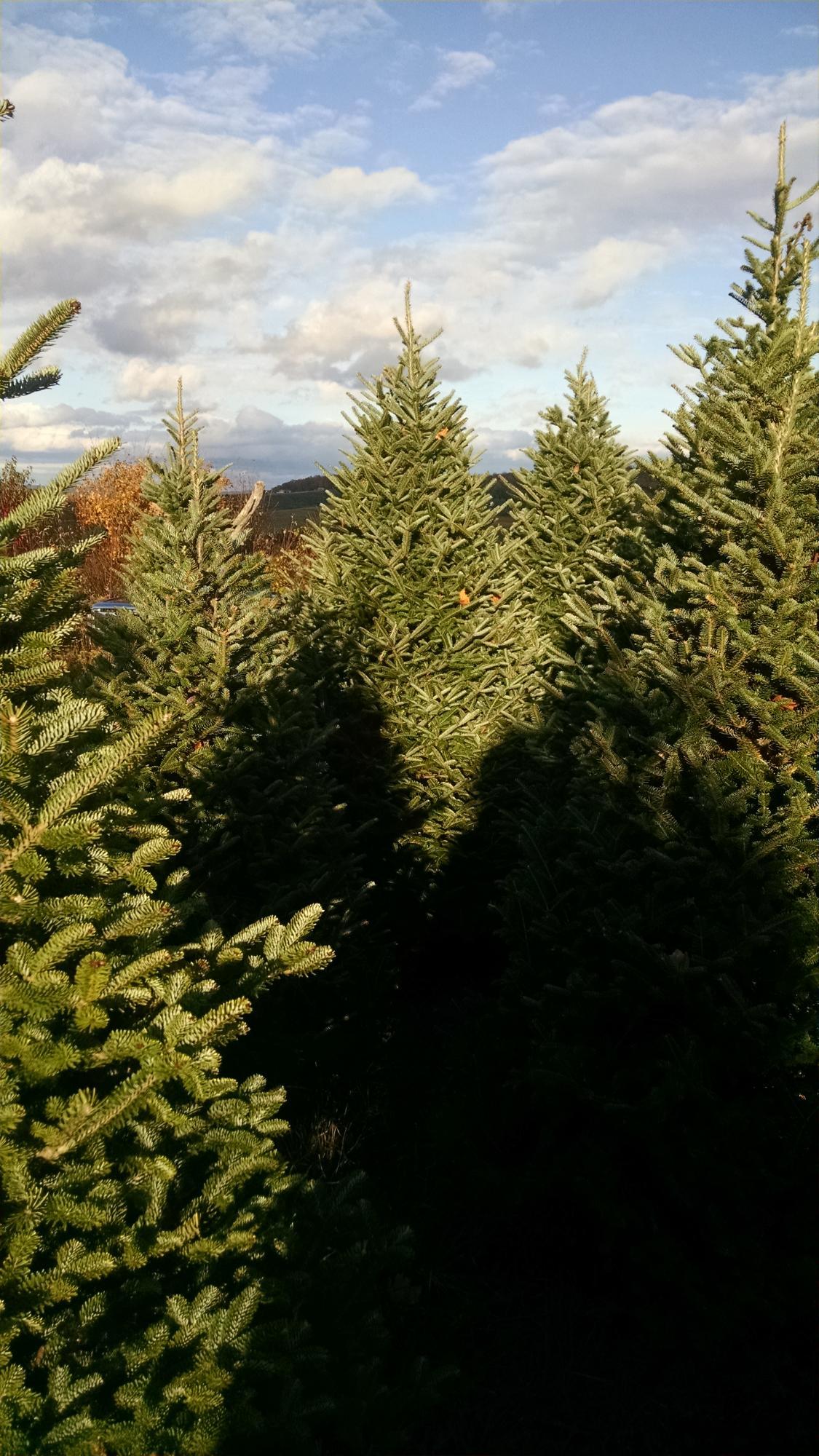wholesale christmas trees pa - Christmas Trees Wholesale